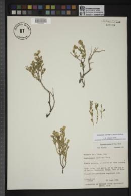 Ericameria cervina image