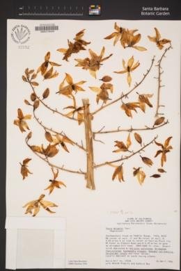 Hesperoyucca whipplei image