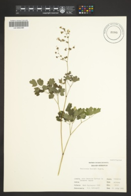 Thalictrum fendleri image