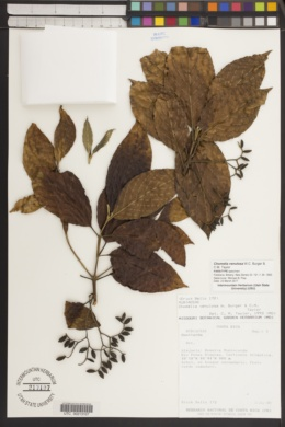 Image of Chomelia venulosa