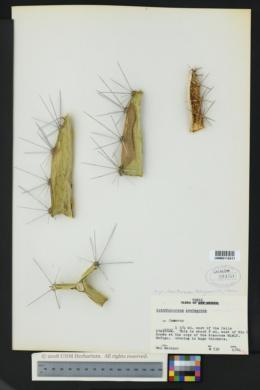 Image of Acanthocereus tetragonus