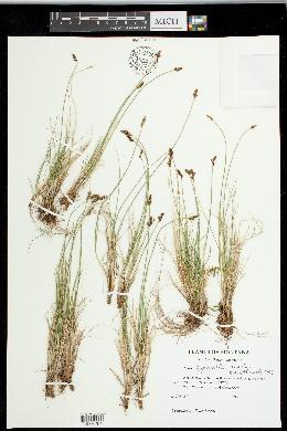 Carex leporinella image