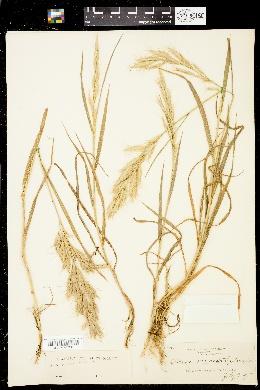 Image of Bromus lanceolatus