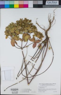 Euphorbia oblongata image