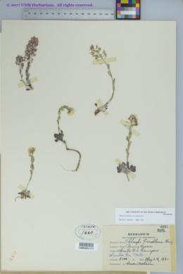 Noccaea montana image