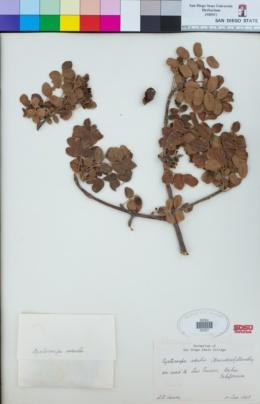 Image of Cyrtocarpa edulis