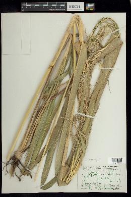 Tripsacum maizar image