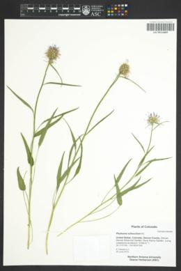 Phyteuma scheuchzeri image