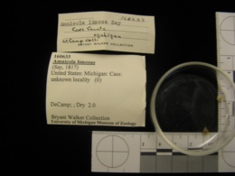 Image of Marstonia lustrica