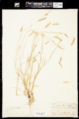 Image of Bouteloua breviseta