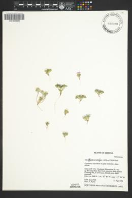 Monoptilon bellioides image