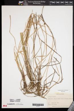 Carex bullata image
