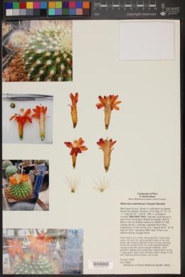 Cleistocactus sepium image