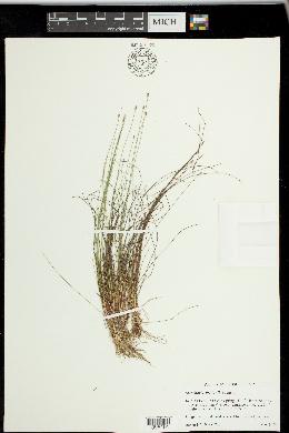 Image of Eleocharis brittonii