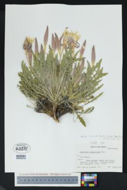 Oenothera cespitosa subsp. macroglottis image