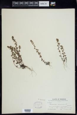 Veronica arvensis image