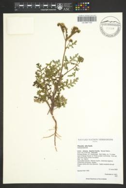 Phacelia alba image