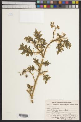 Solanum surattense image