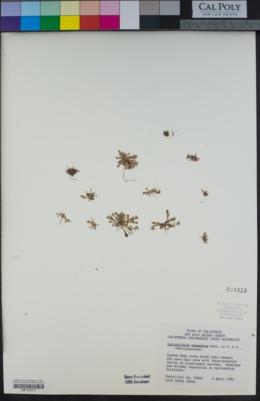 Cistanthe monandra image
