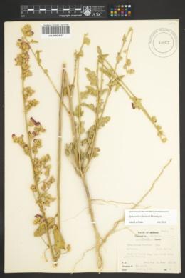 Image of Sphaeralcea hainesii