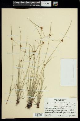 Image of Cyperus swartzii