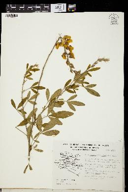 Image of Crotalaria acapulcensis
