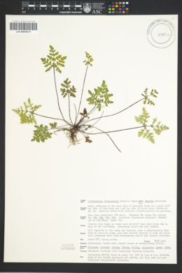 Pentagramma triangularis subsp. maxonii image