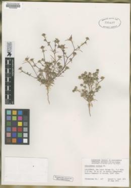Calycadenia villosa image