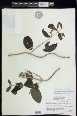 Alicia anisopetala image