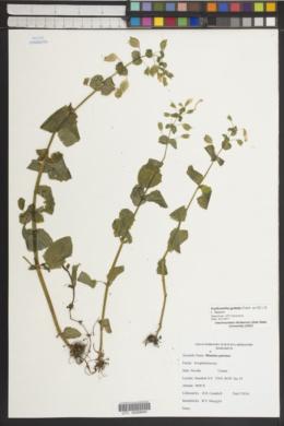 Erythranthe guttata image
