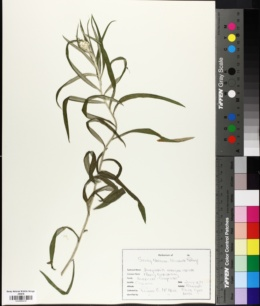 Image of Anaphalis margaritaceae