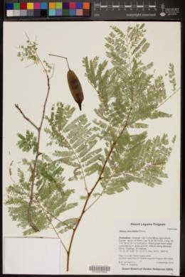 Image of Albizia brevifolia