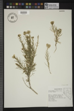 Ericameria albida image