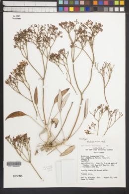 Eriogonum thompsoniae var. albiflorum image