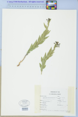 Amsonia jonesii image