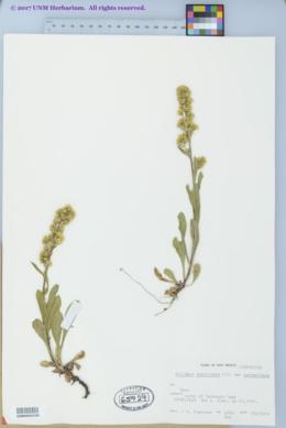 Solidago simplex var. simplex image