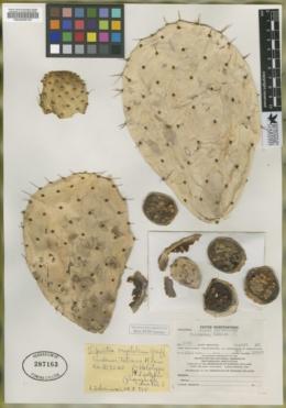 Opuntia crystalenia image