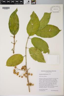 Euonymus hamiltoniana image