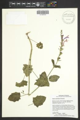 Salvia davidsonii image