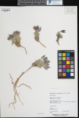 Image of Anelsonia eurycarpa