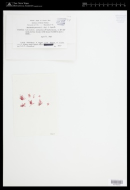 Martensia fragilis image