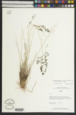 Image of Eragrostis ancashensis