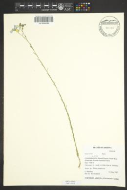 Linum lewisii var. lewisii image