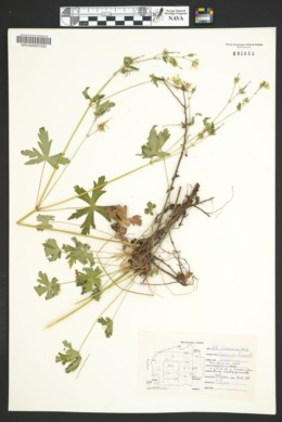 Geranium caespitosum var. fremontii image