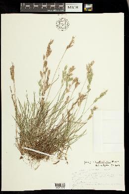 Bromus pseudothominii image