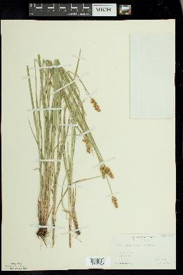 Carex alopecoidea image
