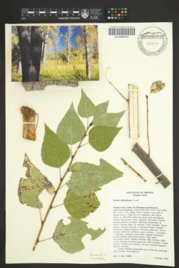 Image of Populus x hinckleyana