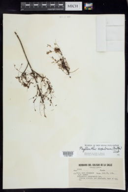 Image of Phyllanthus scopulorum