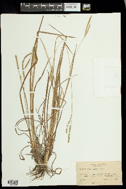 Paspalum circulare image