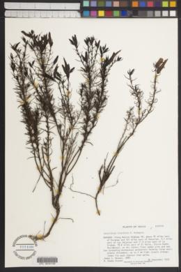 Castilleja linifolia image